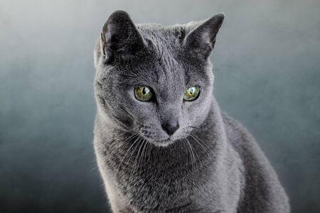 Studio portrait of an elegant purebred Russian Blue Cat photo
