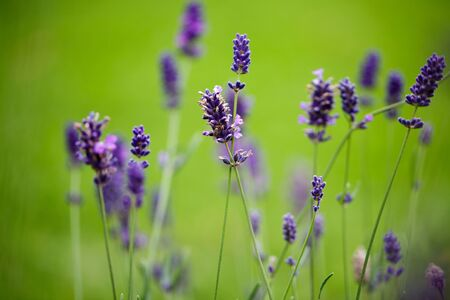 Lavender growing in summer garden close up photo