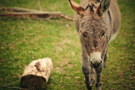 jack ass: Funny small grey donkey in his fenced area on the grass