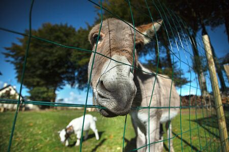 fenced in: Funny small grey donkey in his fenced area on the grass