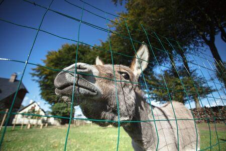 jack ass: Divertente piccolo asino grigio nella sua area recintata sull'erba