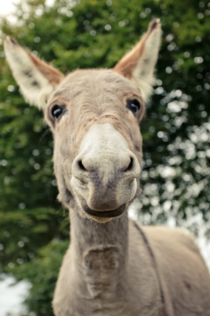fenced: Funny small grey donkey in his fenced area on the grass