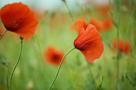 gelincikler: Ilkbaharda güzel parlak kırmızı haşhaş çiçekleri ile çayır