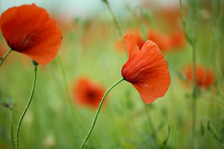 Meadow with beautiful bright red poppy flowers in spring photo