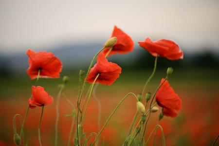papaver: Meadow with beautiful bright red poppy flowers in spring