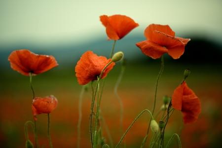 美しい明るい赤いケシの花春の牧草地