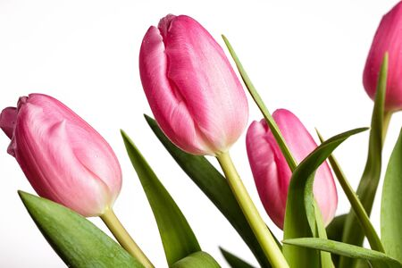 Bouquet of beautiful bright pink tulips with water drops Stock Photo - 17835562