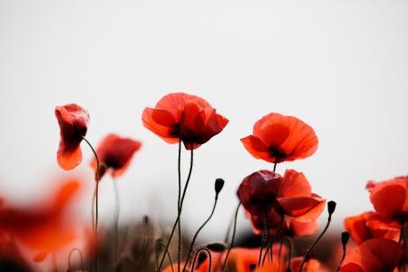 美しい明るい赤いケシの花春の牧草地 写真素材 - 18066863