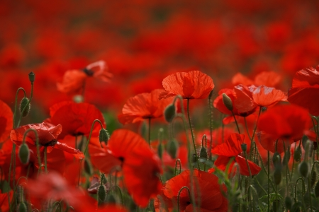 red poppies on green field: Meadow with beautiful bright red poppy flowers in spring