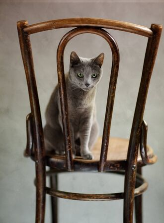 gracefully: Studio Portrait of a elegant and beautiful purebred Russian Blue Cat on antique wooden Chair