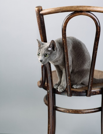 russian blue: Studio Portrait of a elegant and beautiful purebred Russian Blue Cat on antique wooden Chair