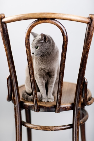 true bred: Studio Portrait of a elegant and beautiful purebred Russian Blue Cat on antique wooden Chair