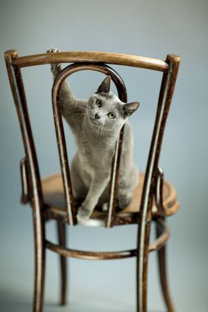 Studio Portrait of a elegant and beautiful purebred Russian Blue Cat on antique wooden Chair photo