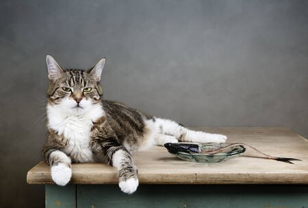housecat: Portrait of a three colored housecat sitting on table with an eaten herring looking satisfied and well fed