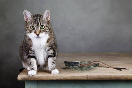 housecat: Portrait of a three colored housecat sitting on table with an eaten herring looking guilty towards the viewer Stock Photo