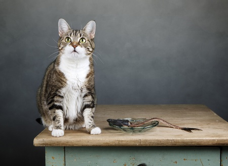 housecat: Portrait of a three colored housecat sitting on table with an eaten herring Stock Photo