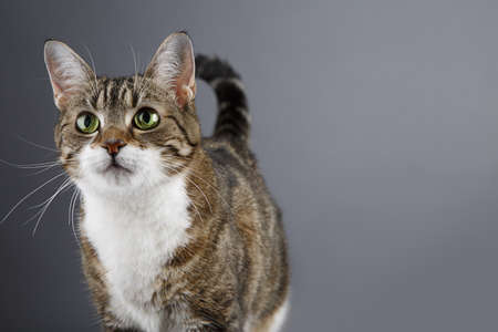 Portrait of a three colored housecat looking forward photo