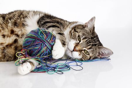 housecat: Portrait of a playful housecat toying with ball of wool on white surface Stock Photo