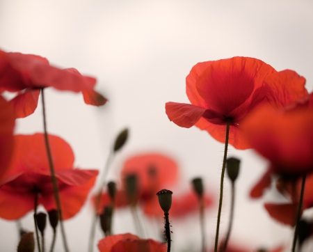 poppy flowers: Meadow with beautiful bright red poppy flowers in spring