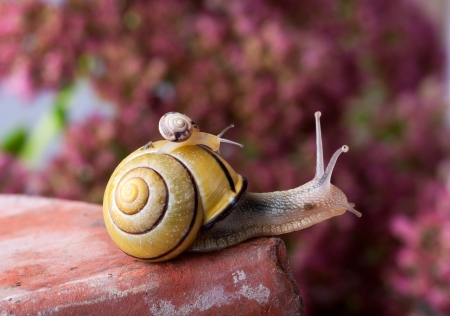 Closeup af a Yellow and Black banded Snail carrying a tiny snail on her back photo