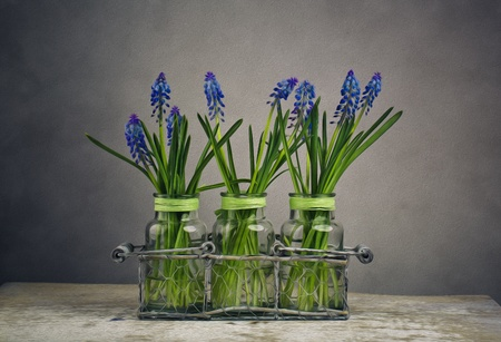 Still Life Illustration image with blue grape hycinth flowers in glass vases illustration