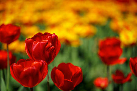 Flower bed of bright vivid red and yellow Tulips in Spring photo