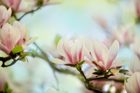 magnolia flowers: Flowering magnolia tree densely covered with beautiful fresh pink flowers in spring