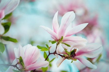 Flowering magnolia tree densely covered with beautiful fresh pink flowers in spring