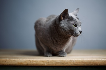 true bred: Portrait of an elegant slender Russian Blue Cat
