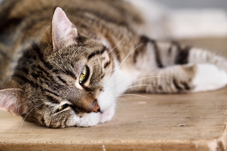 housecat: Close Up Portrait of a three colored Housecat in Studio