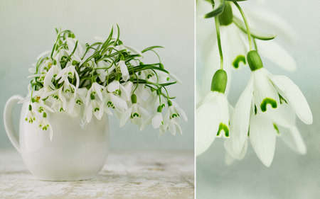 Beautiful white snowdrop flowers in spring studio shot photo