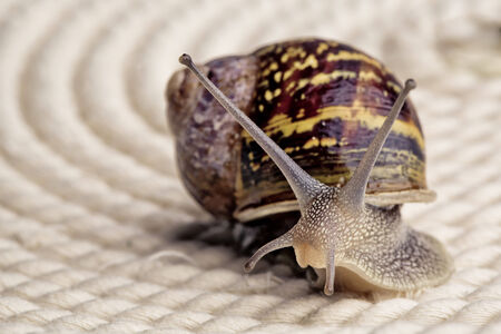 Snail crawling on table, looking around curiously Stock Photo - 24715622