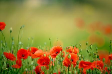 夏の明るい赤のトウモロコシのケシの花のフィールド