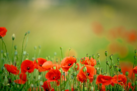 papaver: Field of bright red corn poppy flowers in summer