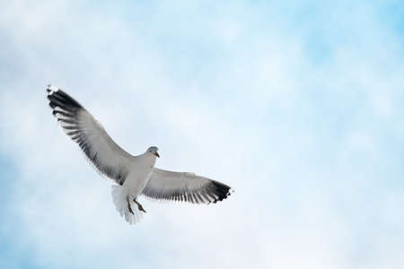 gliding: Seagull gliding gracefully in the summer sky