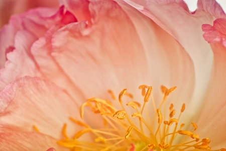 Close Up Macro Shot auf a beautiful pastel Peony Flower with soft bokeh photo