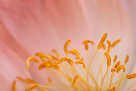 carpels: Close Up Macro Shot auf a beautiful pastel Peony Flower with soft bokeh