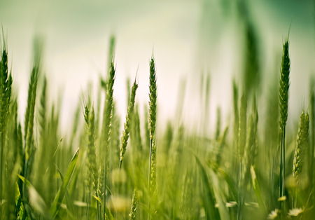 Close up of green wheat plants on the field in early summer photo