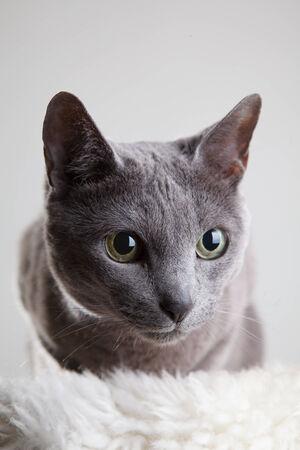 true bred: Portrait einer eleganten Russusch Blau Katze