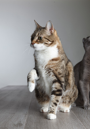 true bred: Two Curious Cats searching for Object above theri heads