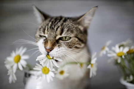 tries: Curious Cat tries the taste of daisy flowers