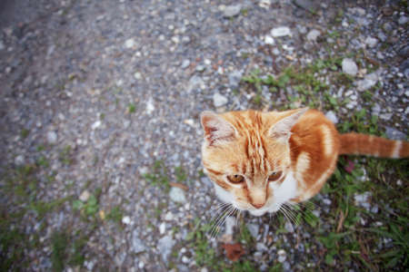 housecat: Curious Young red and white housecat in summer close-up Stock Photo