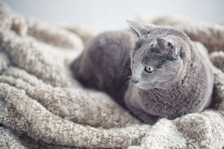 true bred: Portrait of a purebred russian blue cat on woolen blanket