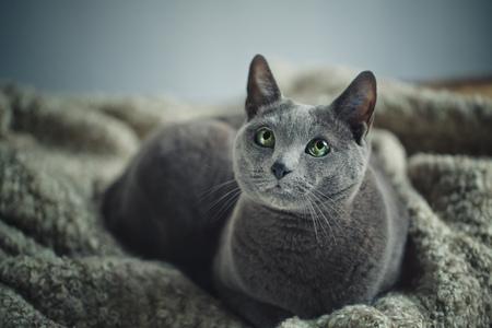 true bred: Portrait of a purebred russian blue cat on woolen blanket