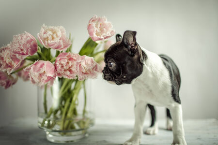 Boston Terrier Puppy and Tulip Flowers photo