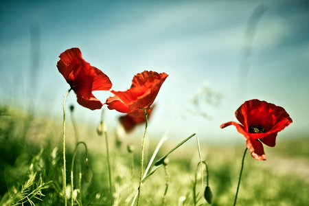 Poppy Flowers on Spring Meadow in warm Sunlight photo