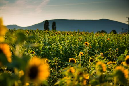 Field of Sunflowers on a sunny summer afternoon photo