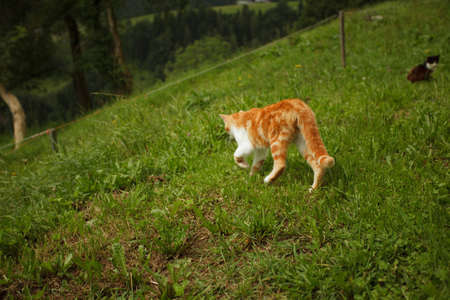 housecat: Housecat in Summer outside in the green Grass