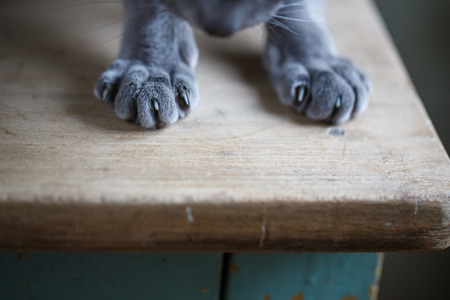 housecat: Close Up of Cat Paws while sitting on Table