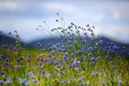 fiordaliso: Bright Blue Corn Fiori sul campo in estate in una giornata di sole Archivio Fotografico